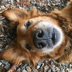 Itchy back. Gravel driveway. #dogdays #golden #puppyforever