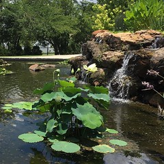 #dallasarboretum #waterlilies #fountain