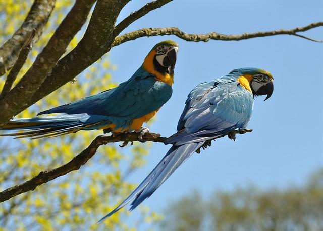 Ara ararauna - Blue and Gold Macaw - Ara bleu  ou Ara bleu et jaune - 13/04/15
