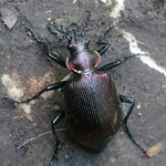 kis bábrabló - Calosoma inquisitor