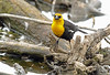 Yellow-Headed Blackbird - 477a1c