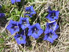 Blau blau blau blüht der Einzian