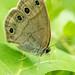 Viola's wood satyr butterfly - Glenhurst Meadow, NJ