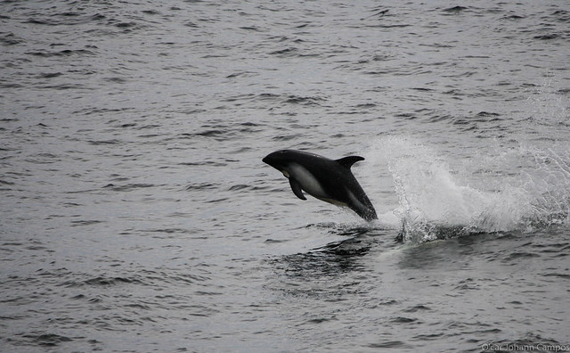 Delfín Austral - Peale's dolphin