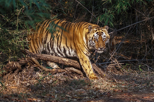 Male Tiger, Tadoba NP