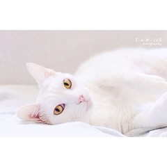 Muffin is a stunner! She has a #cat BFF called Cookie, eyes like jewels, she loves humans, and is probably an Oriental pedigree-cross (I think). I wanted to photograph her much much longer; white on white - why not?!! #excellent_cats #catphoto #catsofinst