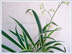 Flowering Dianella ensifolia 'White Variegated' (Variegated Flax Lily, Umbrella Dracaena), March 12 2015