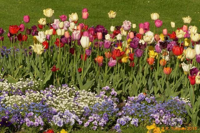 Britzer Garten Tulipan 06.05.2015  25