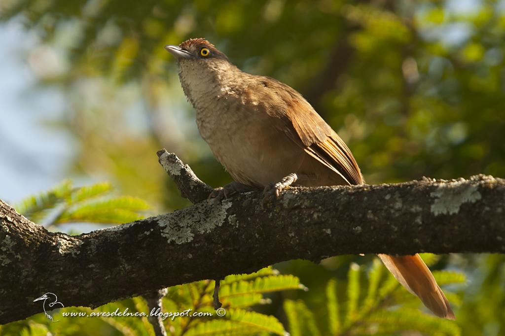 Espinero grande (Greater Thornbird) Phacellodomus ruber