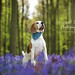 Porthos the Beagle | Dog Photography Berkhamsted by Bridget Davey (www.bridgetdavey.com)