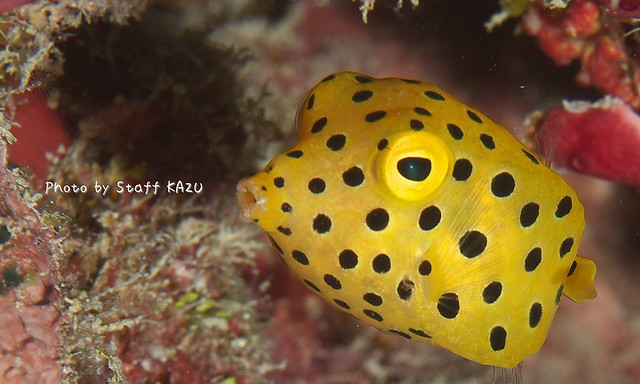 可愛かった!ミナミハコフグ幼魚