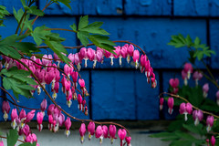 Bleeding Hearts Against Blue Shingles