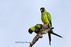 A pair of Nanday Parakeets