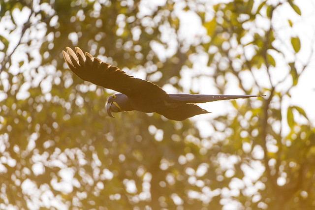 Hyacinth macaw flying in the orange light