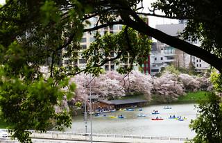 Cherry blossom glimpse