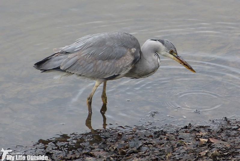 P1120608 - Grey Heron, Lliw Reservoirs