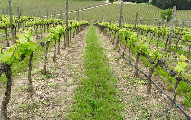 old-vines-sangiovese-cr-brian-dore