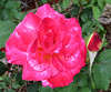 Double Delight Rose 21 May15 4839Ri 5x6