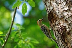 850F8209 - Red Bellied Woodpecker