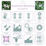 Clematis Montana 'Elizabeth'-01