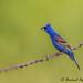 Blue Grosbeak - _MGL8545-1 by arvind agrawal
