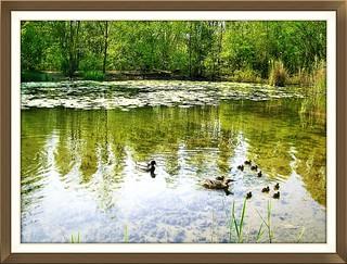 Parco nord Milano.....Piccoli germani crescono nel laghetto