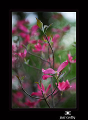 Pink Dogwood by Jim Crotty