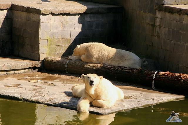 Eisbär Fiete im Zoo Rostock 07.05.2016  0348