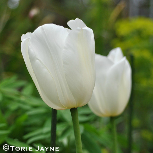 Tulip 'Clearwater' 1