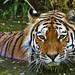 Sibirischer Tiger by Michael Döring