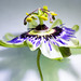 Passionflower by ImagesbyP