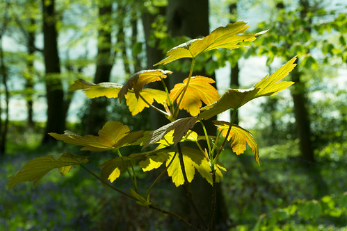 20150426-02_Cawston Bluebell Woods - New Leaves
