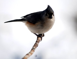 Tufted Titmouse (baedlophus bicolor) looks the camera in the eye.