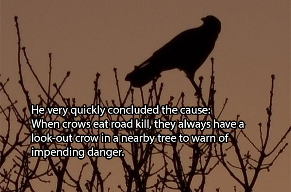 Šis labai greitai išsiaiškino priežastį: kai varnos lesa nuo kelio kitų gyvūnų liekanas, jos visada turi stebėtoją varną šalia esančiame medyje, kad ši perspėtų apie artėjantį pavojų.