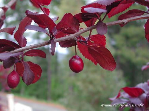 Prunus ceracifera 'Pissardii'