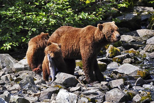 Grizzly Bear family in the Great Bear Rainforest in British Columbia, Canada.