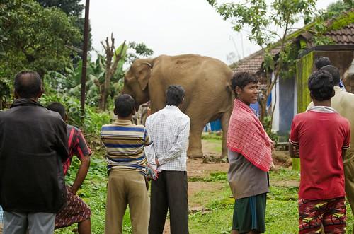 印度村民圍觀經過的一隻大象。來源:(Ganesh Raghunathan/Whitley Awards)
