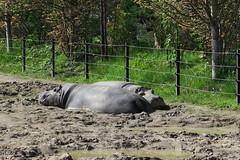 Hippos sleeping (1)