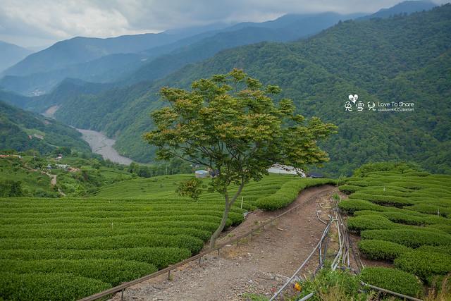 【梨山茶推薦】梨山茶園採春茶體驗遊@梨山茶園-春勇茶葉行