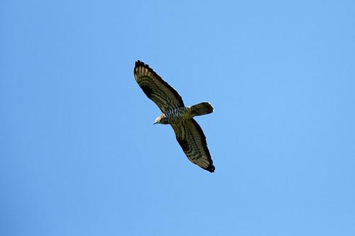 Common Buzzard (Ormvråk)