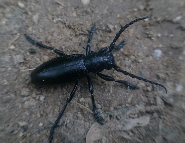 Dorcadion aethiops - fekete gyalogcincér