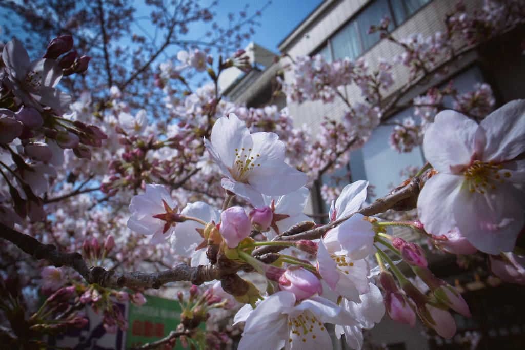 桜-20160331-1
