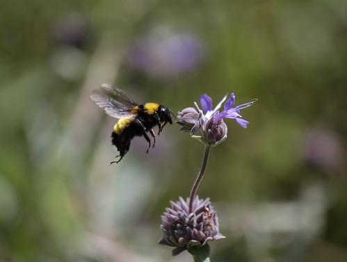 Honey_bee,_maybe?