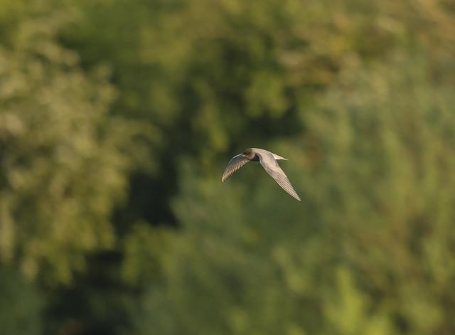 Black Tern, Derek Whites Eggs pit, 14th May 2016
