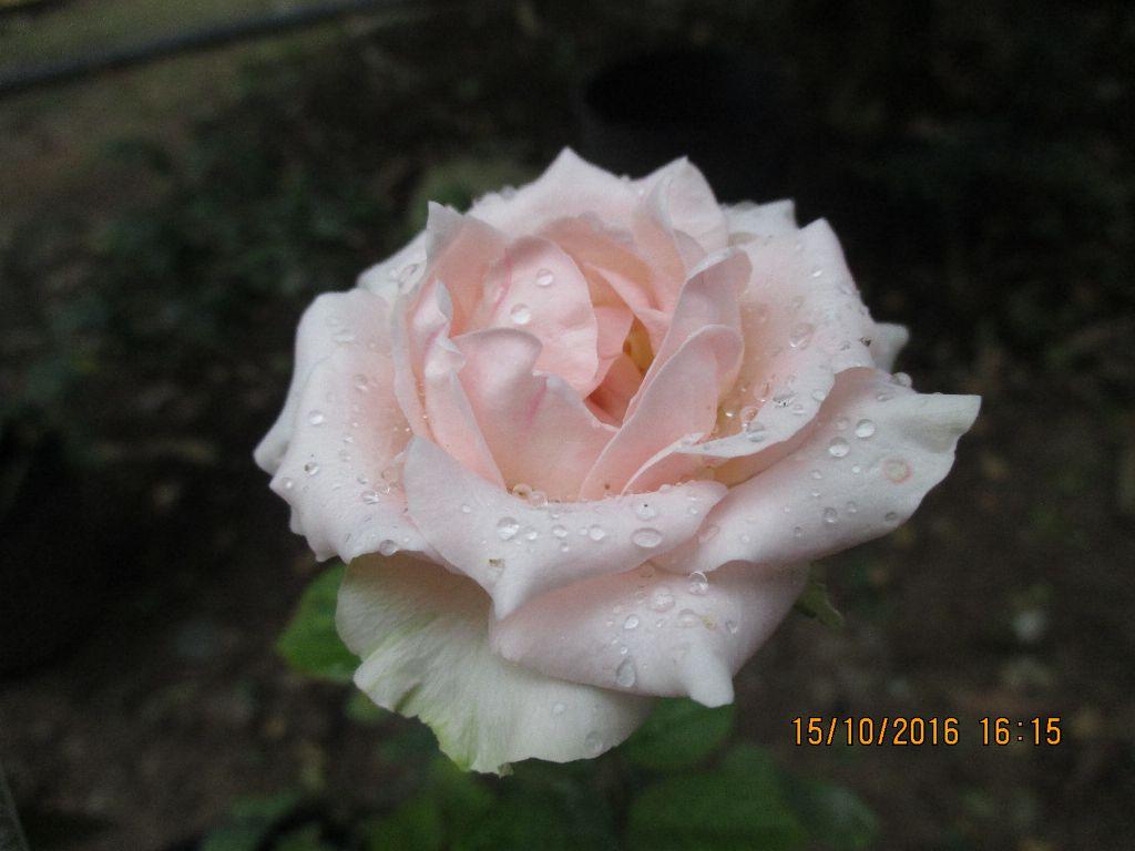 Hoa hồng Nude Sa Đéc có màu trắng kem