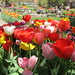 12,000 Tulips at this NYC festival by AndrewDallos