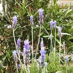 hyssopus(0.0), india hyacinth(0.0), dactylorhiza praetermissa(0.0), flower(1.0), english lavender(1.0), plant(1.0), lavandula stoechas(1.0), lavender(1.0), lavender(1.0), herb(1.0), wildflower(1.0), flora(1.0),
