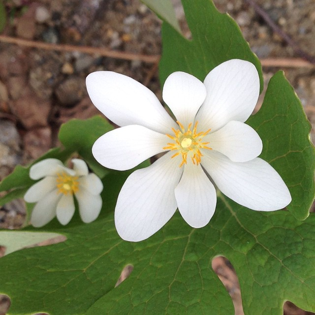 Amazing to see #bloodroot on one of the few days it blooms. #sanguinaria #canadensis #nofilter