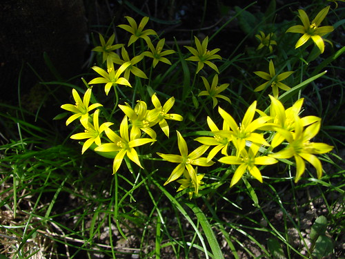 Wild flowers, gagea minima