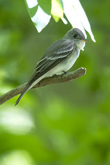 Eastern Wood-pewee DE MAY JG1A1138